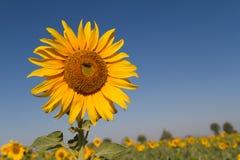 Поле зацветая хранят солнцецветов на большом, который Стоковые Изображения
