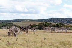 Поле зебр Burchell Стоковое Изображение RF