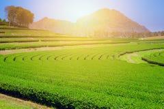 Поле земледелия зеленого чая, к северу от Таиланда Стоковое Изображение RF