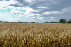 Поле зерна золота Стоковые Фото