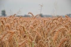 Поле зерна золота Стоковое фото RF
