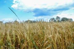 Поле зерна золота Стоковое Изображение