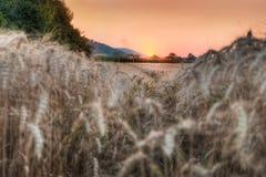 Поле зерна пшеницы на заходе солнца Стоковое Изображение