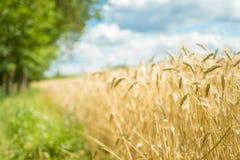 Поле зерна пшеницы страны стоковое фото rf
