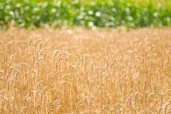Поле зерна пшеницы страны стоковые изображения rf