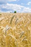 Поле зерна пшеницы страны стоковые фото