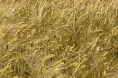Поле зерна Стоковые Фото
