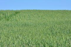 Поле зерна Стоковые Изображения RF
