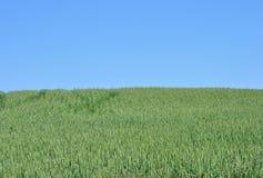 Поле зерна Стоковые Изображения