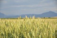 Поле зерна Unriped Стоковые Изображения RF