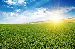 Поле зеленой мозоли и голубое небо Стоковые Изображения RF