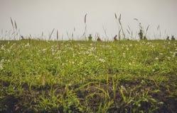 Поле зеленой травы и маленьких цветков Стоковое фото RF