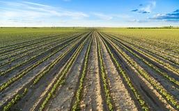Поле зеленый расти заводов соевого боба Стоковое Изображение RF