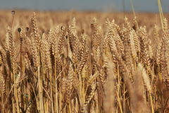 Поле золотой пшеницы Стоковое фото RF