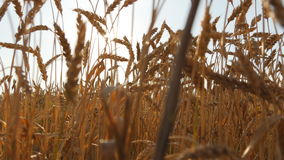 Поле зрелой пшеницы на заходе солнца Золотая пшеница в лете на восходе солнца Золотые зрелые уши пшеницы против неба органическо видеоматериал