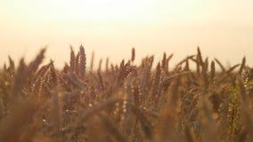 Поле зрелой пшеницы на заходе солнца Золотая пшеница в лете на восходе солнца Золотые зрелые уши пшеницы против неба органическо сток-видео