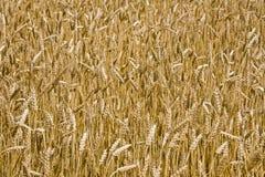 Поле зрелой пшеницы Стоковое Изображение