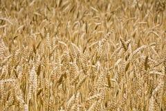Поле зрелой пшеницы Стоковая Фотография RF