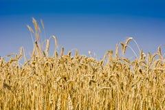 Поле зрелой пшеницы Стоковые Изображения