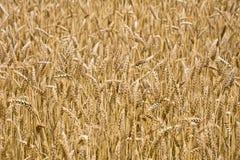 Поле зрелой пшеницы Стоковые Фотографии RF