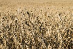 Поле зрелой пшеницы Стоковая Фотография