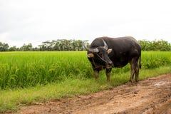 Поле индийского буйвола и риса Стоковая Фотография