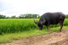 Поле индийского буйвола и риса Стоковое Изображение