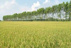 Поле и лагуна риса Стоковые Изображения