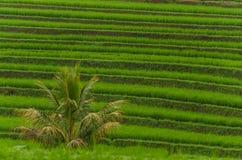 поле и ладонь риса Стоковые Изображения RF