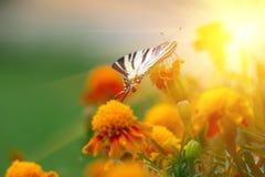 Поле и бабочка цветка erecta Tagetes Стоковые Фото