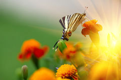 Поле и бабочка цветка erecta Tagetes Стоковая Фотография RF