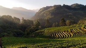 Поле и гора клубники стоковое изображение rf