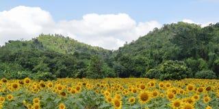 Поле и гора солнцецвета Стоковая Фотография