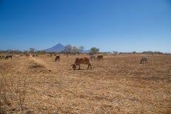 поле и коровы во время лета в Никарагуа Стоковые Изображения RF