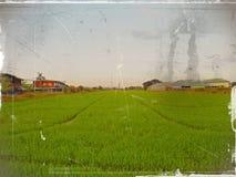 Поле и небо риса Стоковые Изображения RF