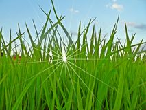 Поле и небо риса Стоковая Фотография