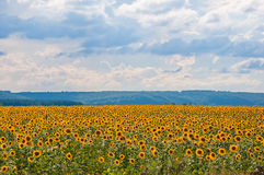 Поле и облака солнцецвета Стоковая Фотография RF