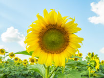 поле и облако солнцецвета в голубом небе Стоковые Фото