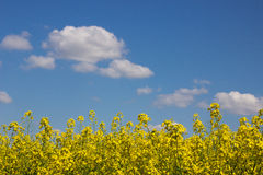 Поле и облачное небо рапса Стоковое Изображение RF