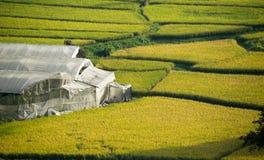 Поле и парник риса желтого зеленого цвета красивого вида Стоковые Фотографии RF