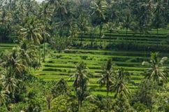 Поле и пальмы риса Стоковое фото RF
