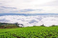 Поле капусты в тумане Стоковая Фотография