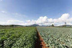 Поле картошки в Вьетнаме Стоковое фото RF