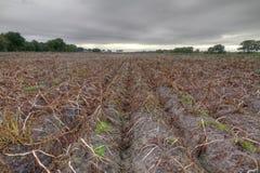 Поле картошки в осени Стоковое Фото