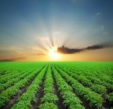 Поле картошки зеленое стоковые фотографии rf