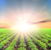 Поле картошки зеленое стоковое фото