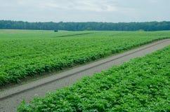 Поле картошки, монокультура стоковое фото