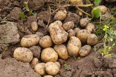 Поле картошки чистки Стоковая Фотография