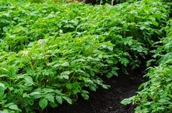 Поле картошки Стоковое Изображение