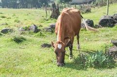 поле коровы пася Стоковые Фотографии RF